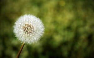 Особенности борьбы с одуванчиками в саду: как вывести сорняк
