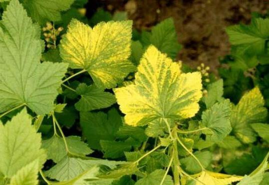 У смородины и крыжовника желтеют листья: причины и способы решения