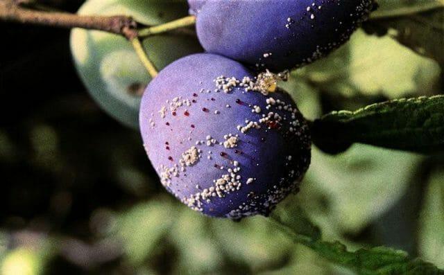 Осыпаются завязи и плоды на яблоне, сливе, вишне и других деревьях: что делать?