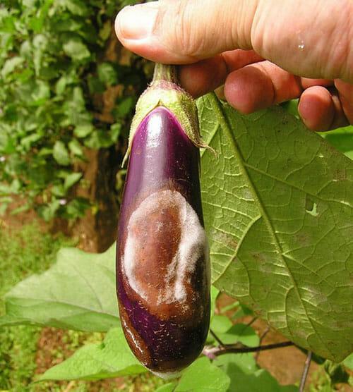 Возможные ошибки при выращивании баклажанов