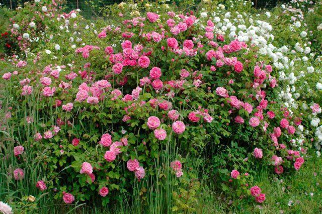 10 самых неприхотливых роз