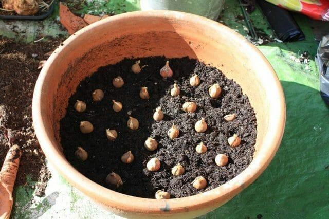 Посадка тюльпанов осенью в самые подходящие сроки