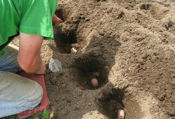 5 самых простых способов посадки картофеля