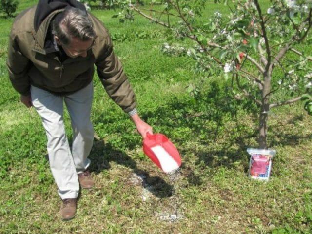 Грамотный уход за яблонями осенью. Подробное руководство