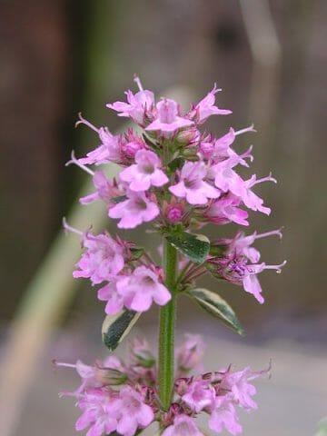 Растение Тимьян: фото, виды, лечебные свойства и противопоказания