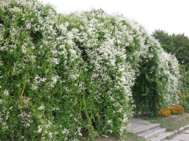 5 сортов Фаллопии для вашего сада: Секреты выращивания
