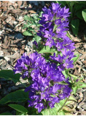 Цветы Колокольчики: Фото, виды, выращивание, посадка и уход в открытом грунте
