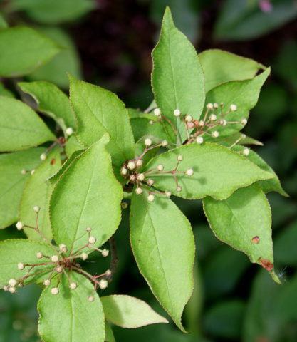 Растение Фотиния: фото, виды, выращивание, посадка и уход