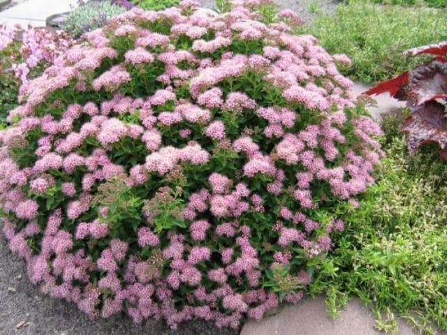 Неприхотливые цветущие кустарники в вашем саду: советы садоводам