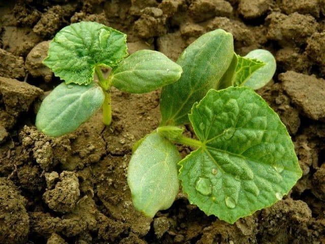 Выращиваем вкусные огурцы: секреты опытных огородников