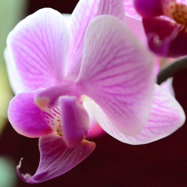 Как нужно ухаживать за цветущей орхидеей, чтобы она как можно дольше цвела