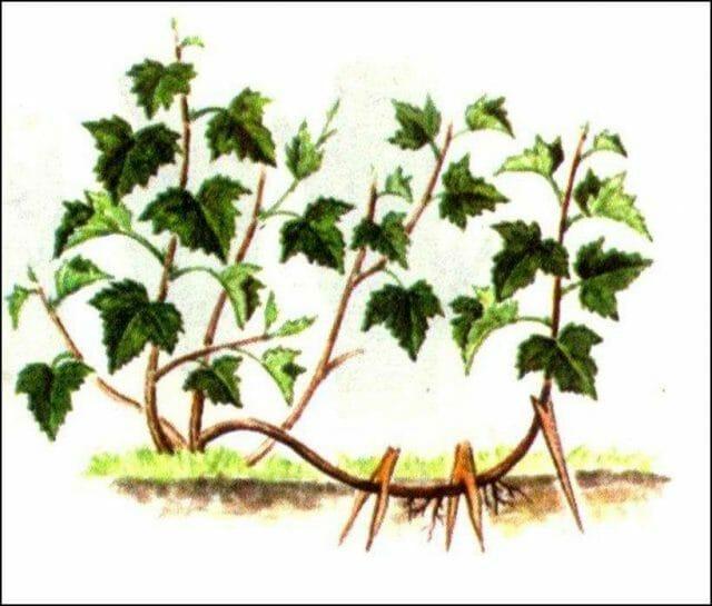Смородина осенью: уход, обрезка, подкормка и другие осенние работы
