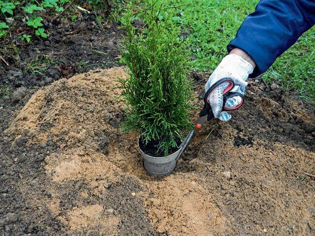 Туя пожелтела после зимы - что делать, как помочь растению, видео