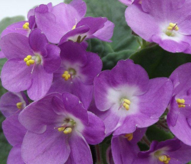 Как опытные цветоводы добиваются цветения фиалок пышной шапкой