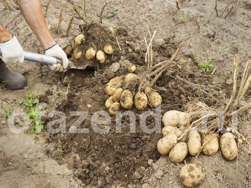 Отменный урожай картошки по методу Балабанова