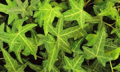 Растение Плющ: фото, виды, выращивание, посадка и уход