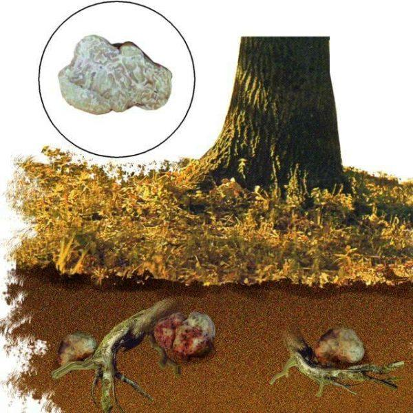 Где растут трюфели