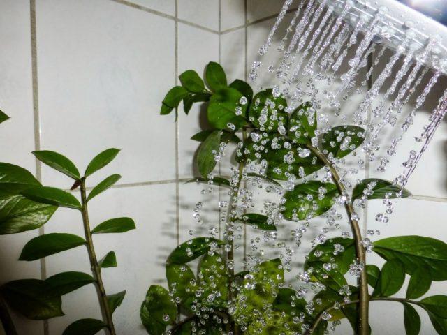 Горячий душ для комнатных растений: Раскрываем секреты