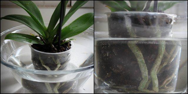 Мой опыт ухаживания за орхидеей, чтобы она цвела пышно