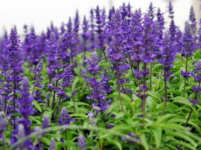 Растение Шалфей: фото, виды, выращивание, посадка и уход