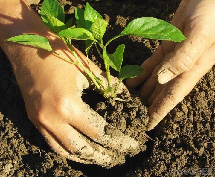 Давайте разбираться, как вырастить крепкую рассаду перцев! Рекомендуем Вам вот такой интересный способ…