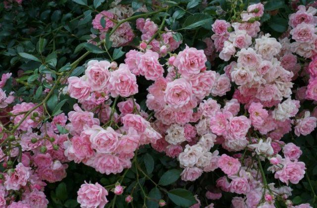 Чем ковровые розы лучше обычных и почему они так резко стали популярны?
