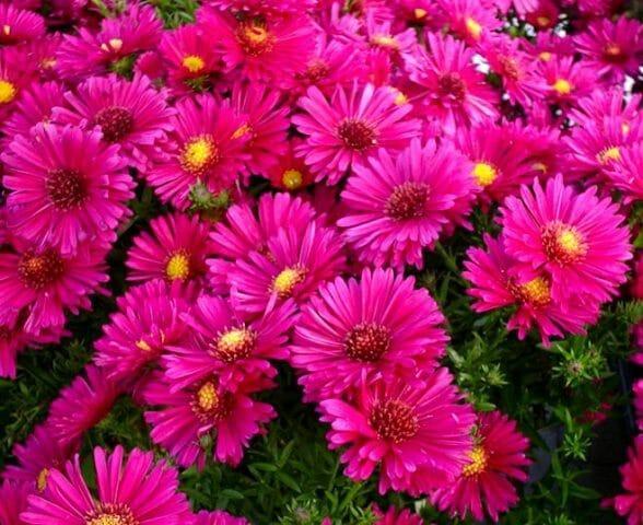 Цветущие многолетники в вашем саду: советы садоводам