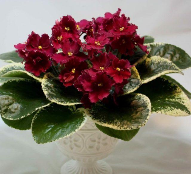 Четыре лучшие подкормки фиалок для цветения шапкой