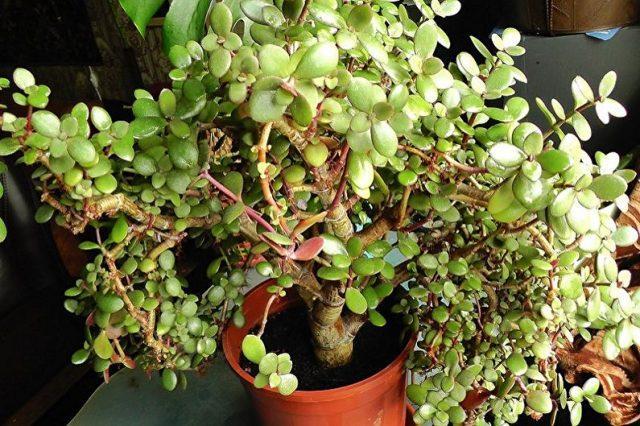 Как сформировать денежное дерево (толстянку), чтобы было красивым