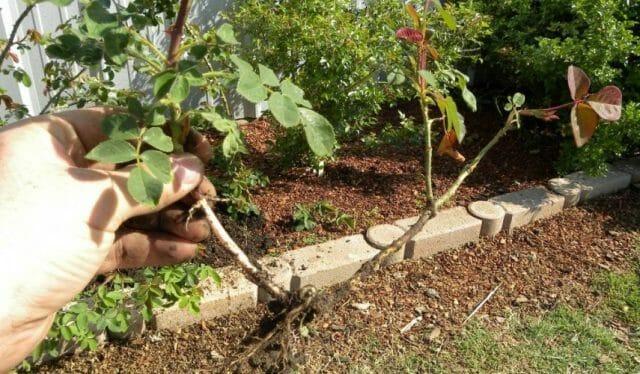 Как размножить розы в домашних условиях осенью