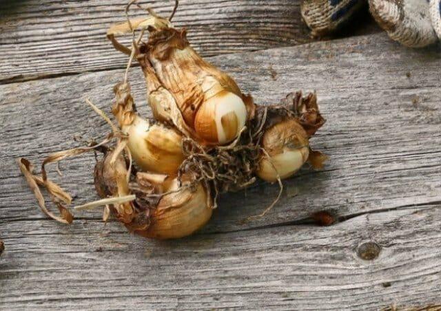 Выкапываем и как сохраняем луковицы тюльпанов, гиацинтов, нарциссов, крокусов