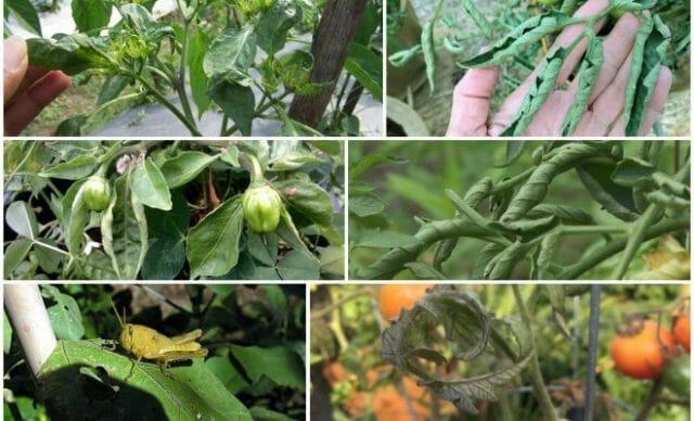 Почему у томатов и перца скручиваются листья и что нужно делать?