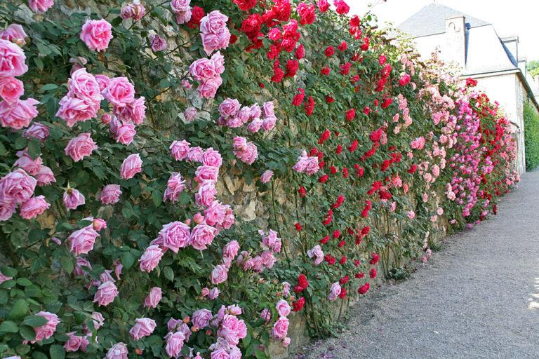 5 лучших растений для посадки с уличной стороны забора
