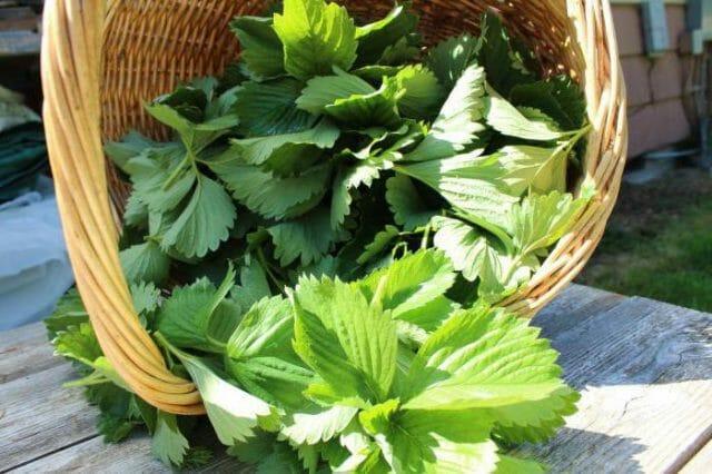 Лечебные свойства листьев клубники, народные целительные рецепты