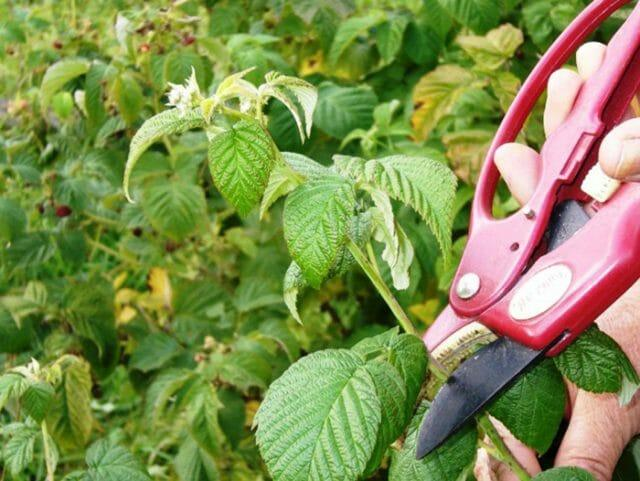 Желтеют листья у малины: причины и решения