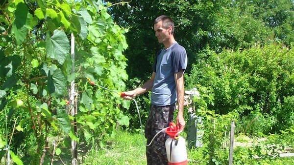 Как ухаживать за смородиной после сбора урожая