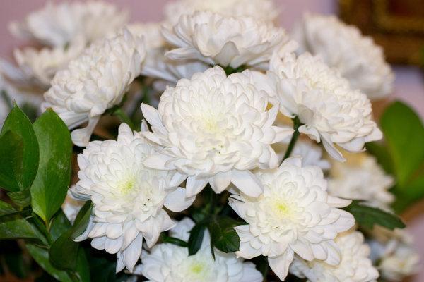 Скажем Хризантеме Спасибо! Как подготовить её к зиме, чтобы не пропала и роскошно цвела в следующем году