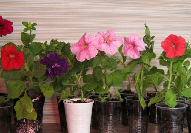 Какие цветы можно посадить на рассаду уже в январе, чтобы рано зацвели