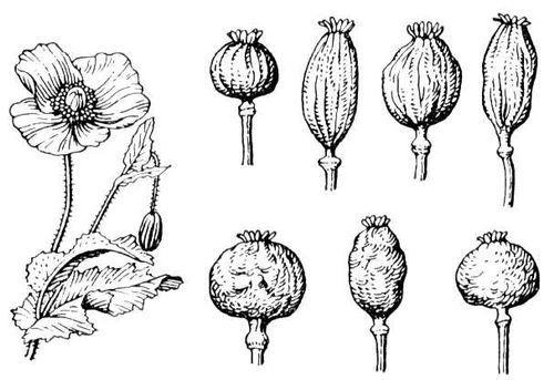 46 видов мака: раскрываем секреты выращивания