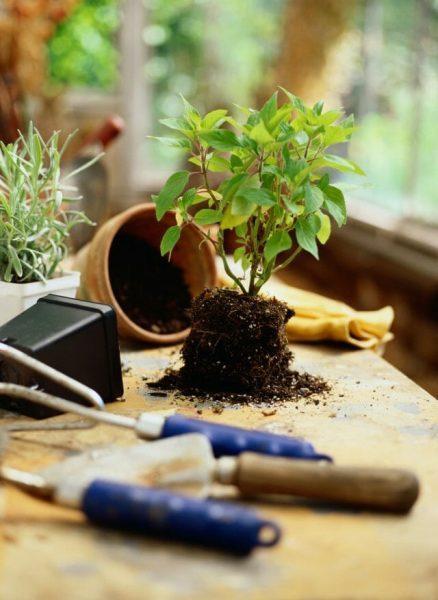 5 популярных садовых растений, которые можно выращивать дома