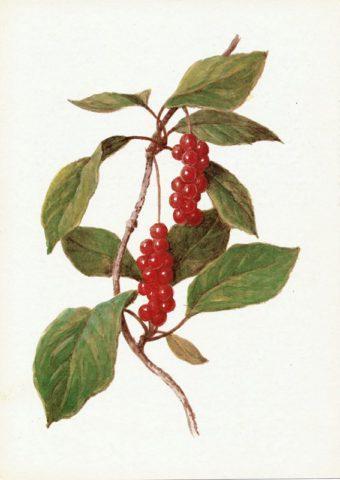 Растение Лимонник: фото, виды, выращивание, посадка и уход
