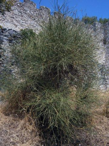 Метельник для вашего сада: описание и секреты выращивания