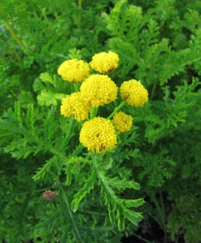 26 видов пижмы для Вашего сада: Описание и секреты выращивания