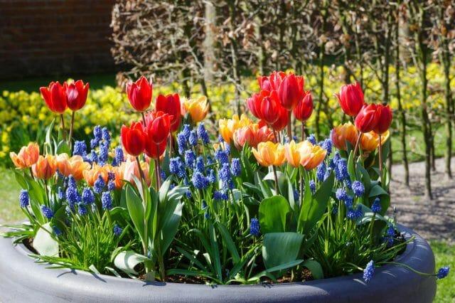 Цветник из луковичных: садовая россыпь самоцветов- советы садоводам