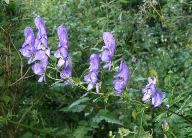 15 видов дубровника для вашего сада: Описание и секреты выращивания