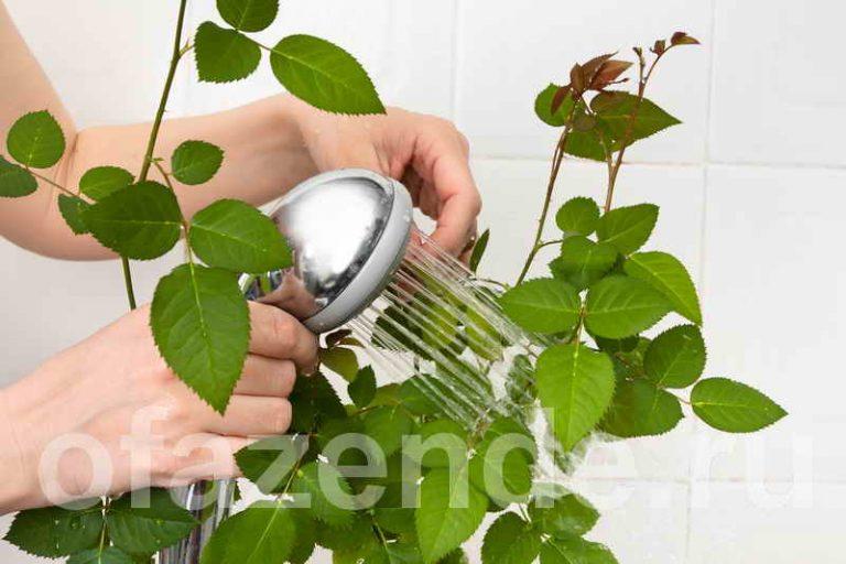 Как мыть листья комнатных цветов от пыли, чтобы блестели?