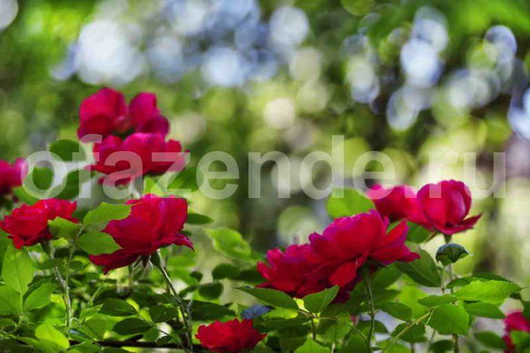 Как просто и надёжно укрыть плетистые розы