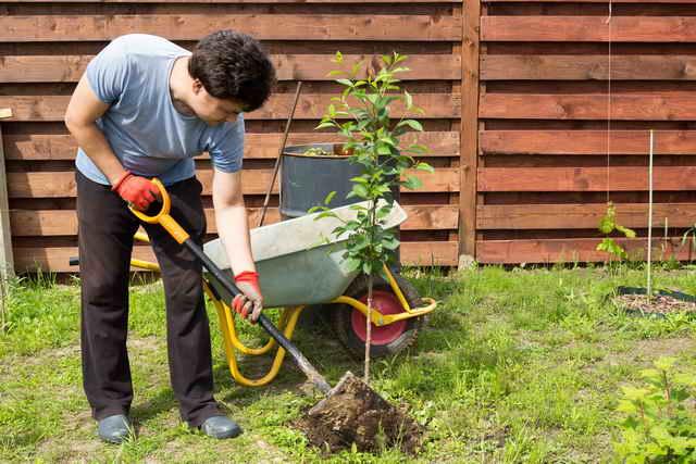 Как правильно сажать вишню весной и осенью