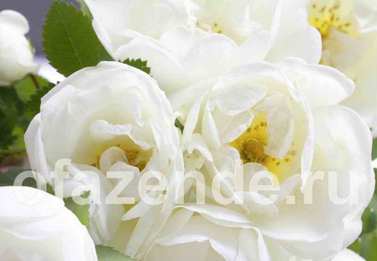Роза / Шиповник для Вашего сада: виды и описание