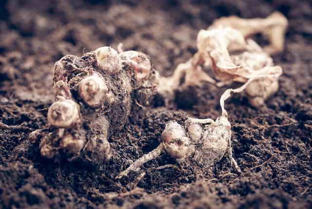 Имбирь: Технология и секреты выращивания у себя на даче
